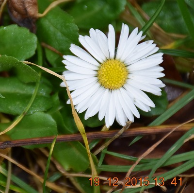 Lawn daisy ヒナギク (Bellis perennis) Madeliefje