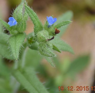 Small bugloss アレチウシノシタグサ (Anchusa arvensis) Kromhals