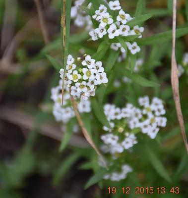 Sweet Alison ニワナズナ (Lobularia maritima) Zilverschildzaad
