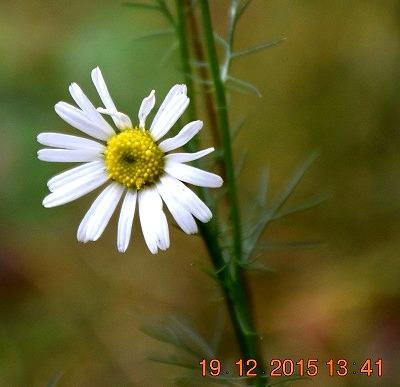Chamomile カモミール (Matricaria recutita) Echte kamille - コピー