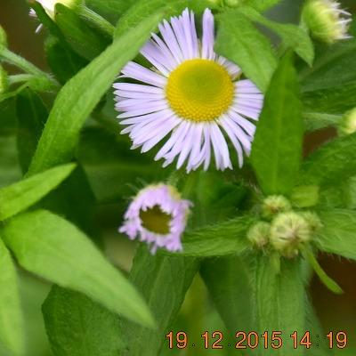 Daisy fleabane ヒメジョオン (Erigeron annuus ) Zomerfijnstraal 400 x 400