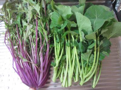 紫水菜 とかき菜