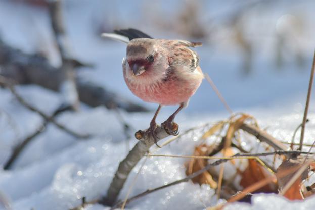 雪とベニマシコ♂