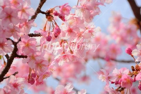 4278981 河津桜