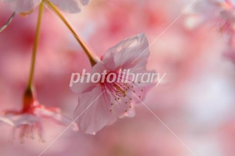 4278987 河津桜
