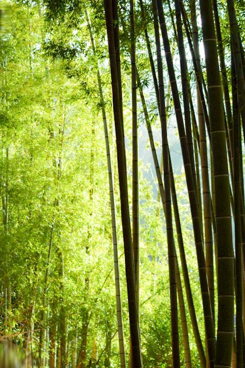 朝日が差す竹林