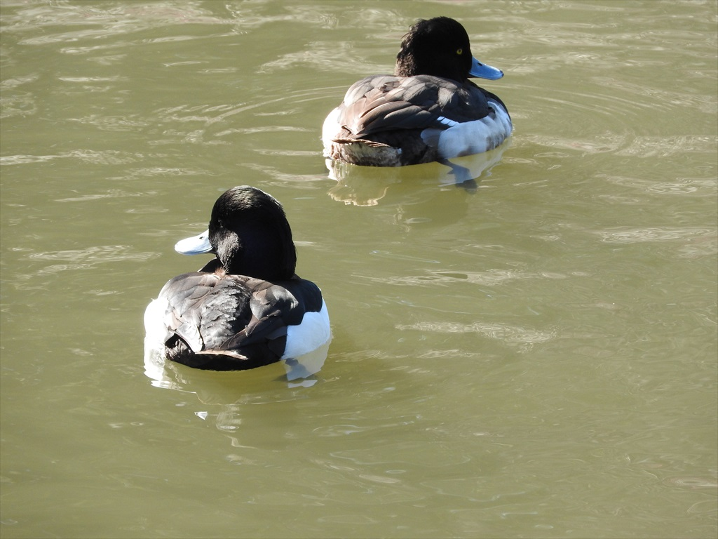 大池にいた野鳥_1