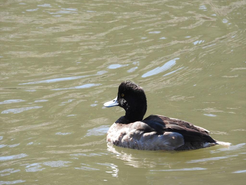 大池にいた野鳥_3