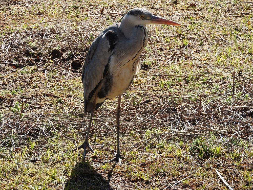 大池にいた野鳥_11