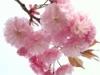 植物-八重桜
