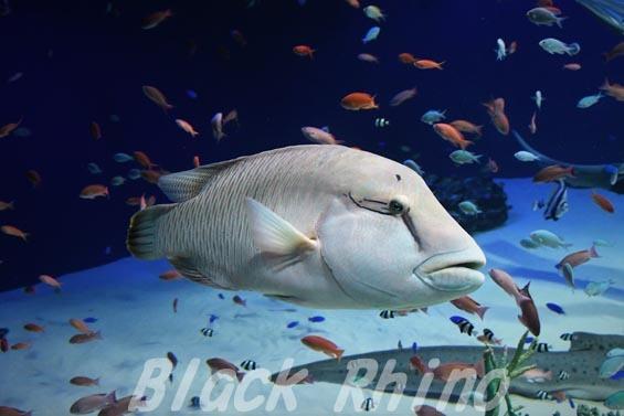 メガネモチノウオ01 マリホ水族館