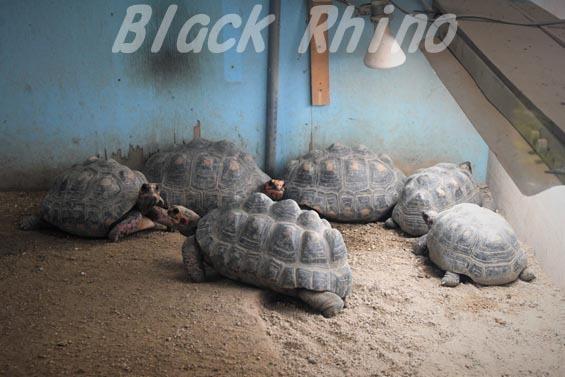 アカアシガメ02 安佐動物公園