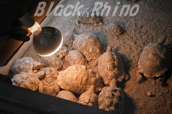 インドホシガメ01 安佐動物公園