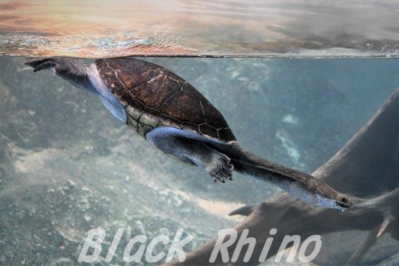 ニューギニアヘビクビガメ01 安佐動物公園