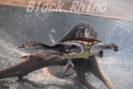 ニューギニアヘビクビガメ02 安佐動物公園