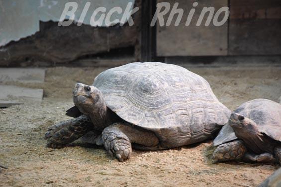 ビルマムツアシガメ01 安佐動物公園