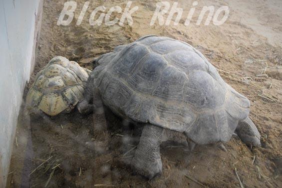 ビルマムツアシガメ02 安佐動物公園
