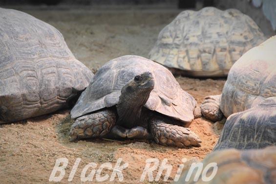 ビルマムツアシガメ03 安佐動物公園
