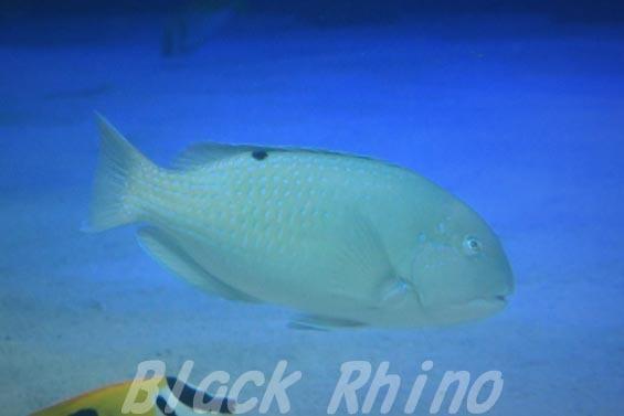 シロクラベラ01 サンシャイン水族館