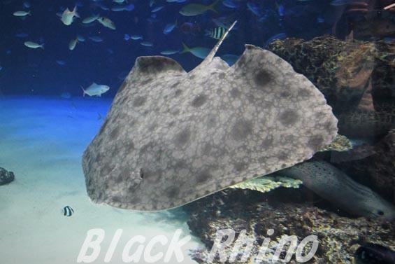 ツバクロエイ01 サンシャイン水族館