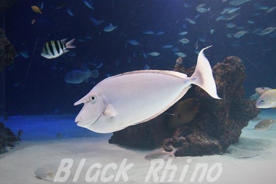 テングハギ01 サンシャイン水族館