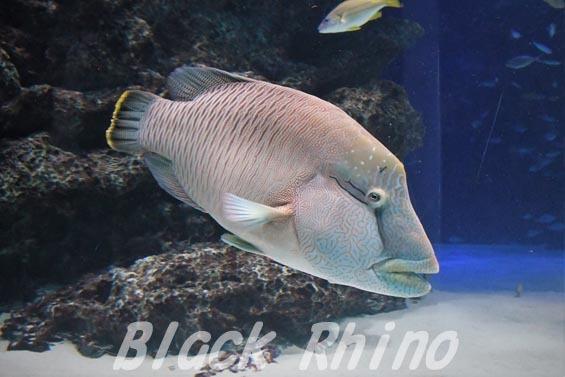 メガネモチノウオ01 サンシャイン水族館
