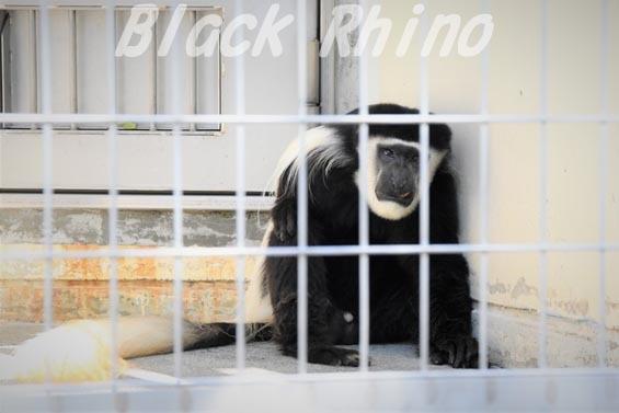 アビシニアコロブス01 浜松市動物園