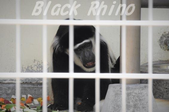 アビシニアコロブス02 浜松市動物園