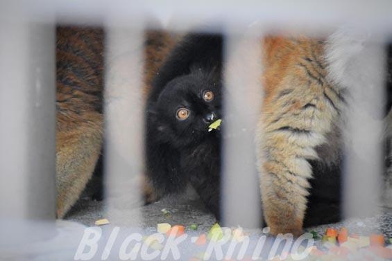 クロキツネザル05 浜松市動物園