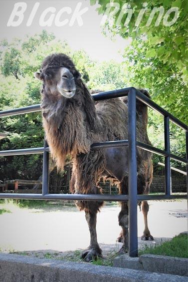 フタコブラクダ02 安佐動物公園