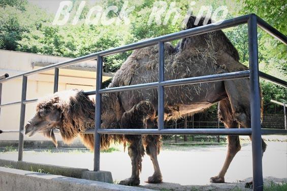 フタコブラクダ04 安佐動物公園