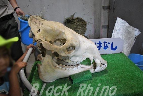 フタコブラクダ11 安佐動物公園