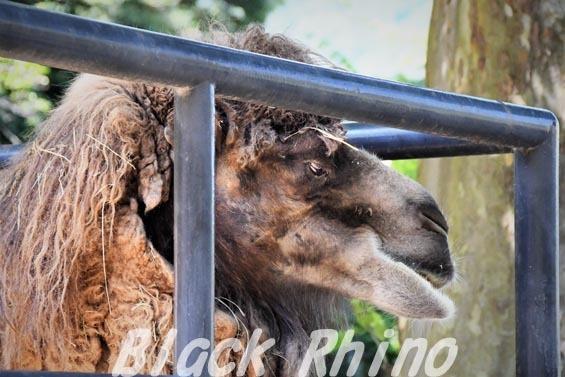 フタコブラクダ14 安佐動物公園