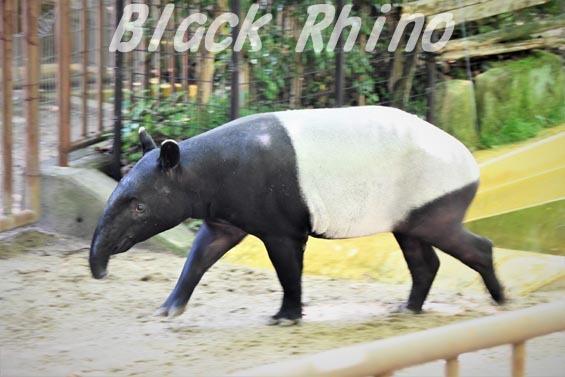 マレーバク01 安佐動物公園