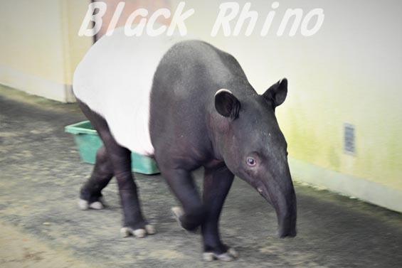 マレーバク02 安佐動物公園