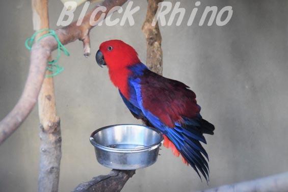 オオハナインコ02 羽村市動物公園