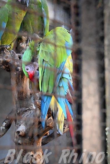 ミドリコンゴウインコ01 羽村市動物公園