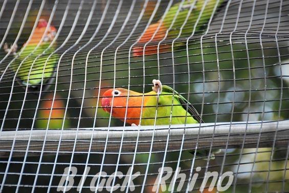 ルリゴシボタンインコ01 羽村市動物公園