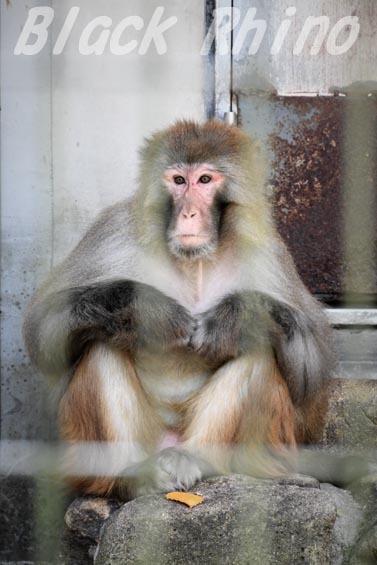 アカゲザル01 安佐動物公園