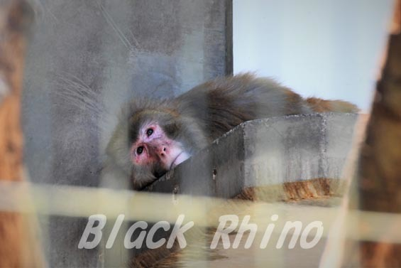 アカゲザル02 安佐動物公園