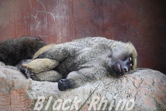 アヌビスヒヒ01 安佐動物公園