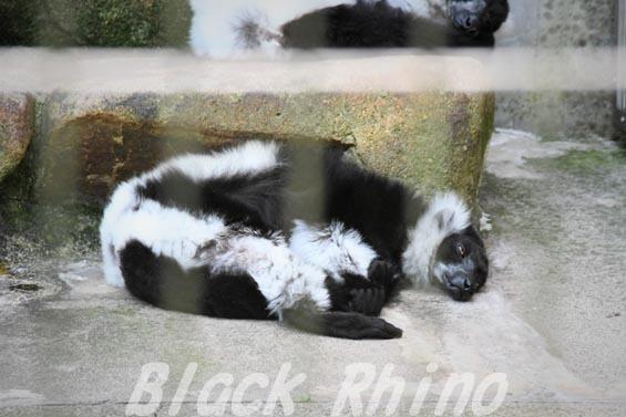 エリマキキツネザル02 安佐動物公園