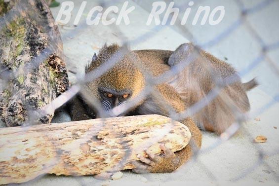 マンドリル01 安佐動物公園