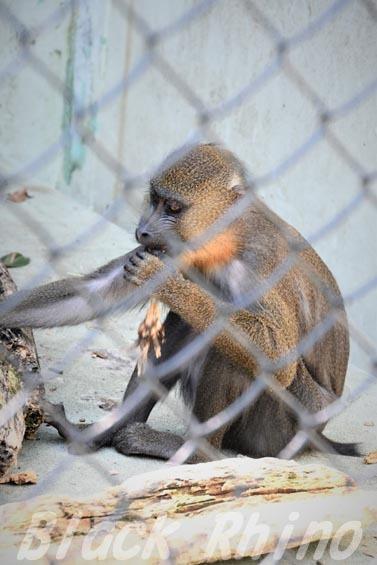 マンドリル02 安佐動物公園