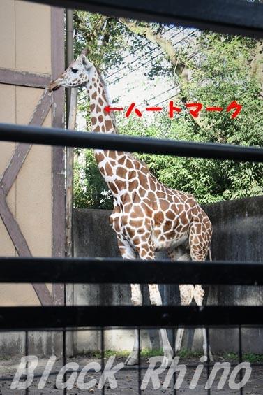 アミメキリン01 羽村市動物公園
