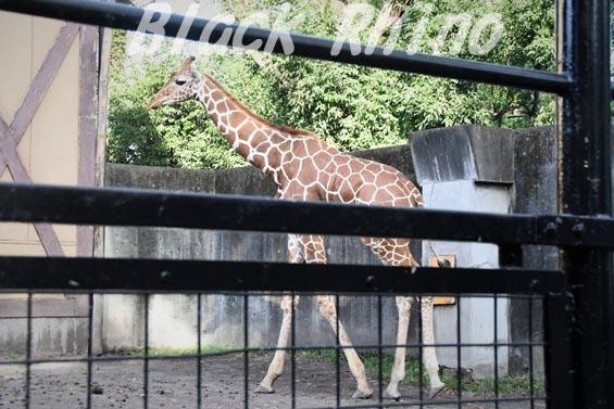 アミメキリン03 羽村市動物公園