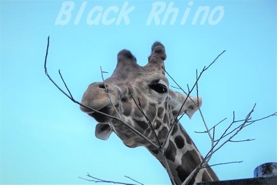 アミメキリン04 羽村市動物公園