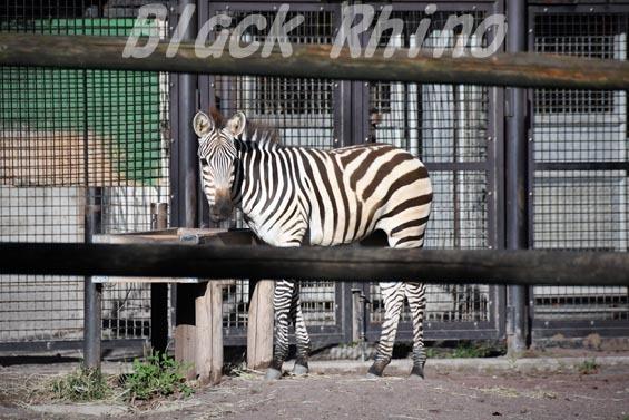 グラントシマウマ02 羽村市動物公園
