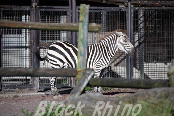 グラントシマウマ03 羽村市動物公園