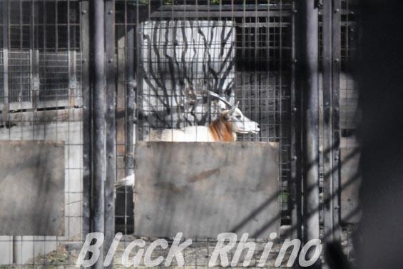 シロオリックス01 羽村市動物公園